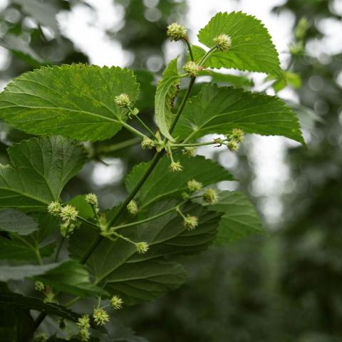 First hop flowers starting to show