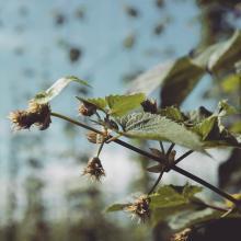 First hop flowers